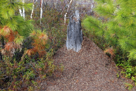 anthill: Ant hill in the wood among pines