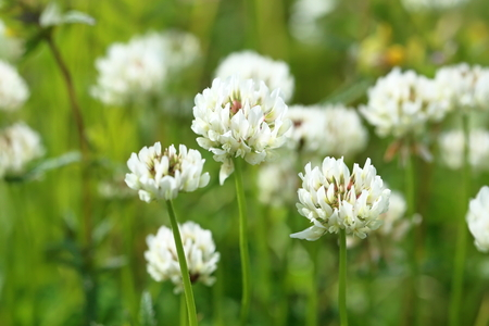 dutch clover: Trifolium repens. The white clover grows on a meadow