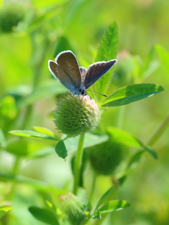 pink  leaf: Cyaniris semiargus (Rottemburg, 1775). The butterfly sits on a clover flower Stock Photo