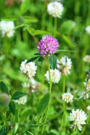 trifolium: Trifolium pratense. The growing clover on a meadow