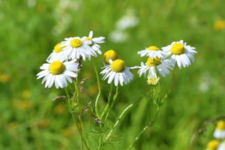 daisy stem: Camomile flowers on a meadow