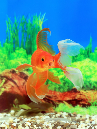 aquarian fish: Male of a goldfish close up
