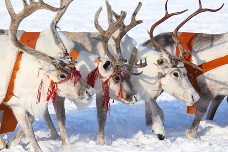 White reindeers in a team Stock fotó