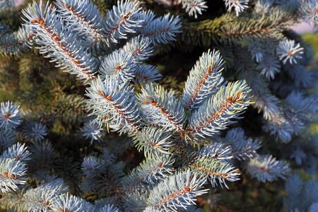 picea: Picea pungens. Branch of a blue spruce close up