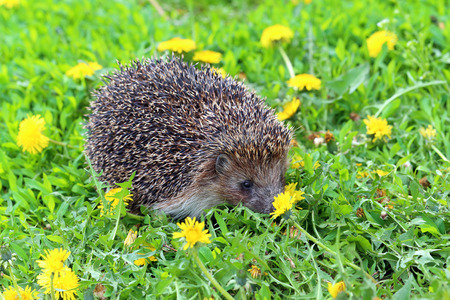 smells: The hedgehog smells dandelion flowers