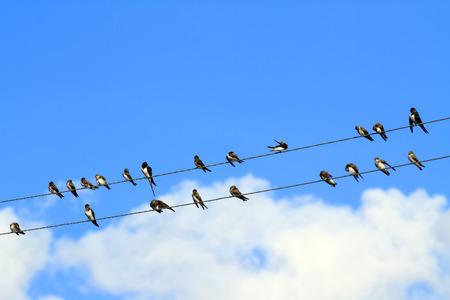 golondrinas: Golondrinas se sientan en los cables el�ctricos
