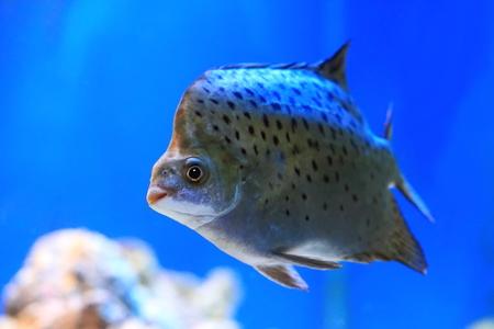 indo pacific: Scatophagus argus. Fish in an aquarium
