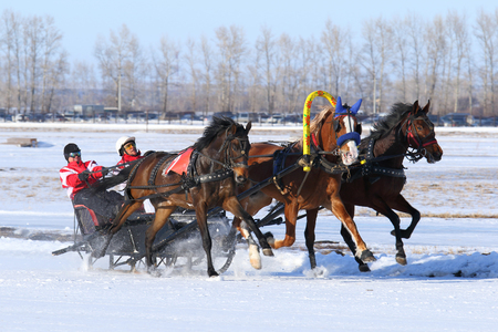 BELOKURIKHA, RUSSIA - MARCH 12, 2016: The Russian three of horses during the holiday Farewell to winter