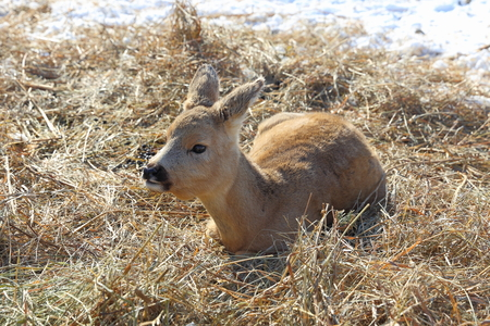 cervus: Cervus nippon. The cub of a deer lies on hay