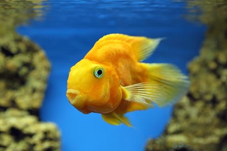 cichlasoma: Cichlasoma parrot. Aquarian fish close up