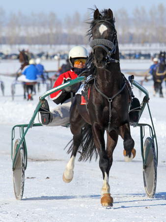 trotters: BELOKURIKHA, RUSSIA - MARCH 12, 2016: Races on the Oryol trotters during the holiday Farewell to winter