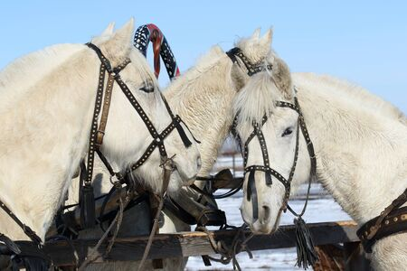 hitching post: Three gray horses at a hitching post Stock Photo