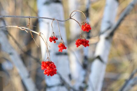 guelderrose: Guelder-rose berries against birches in the winter afternoon Stock Photo