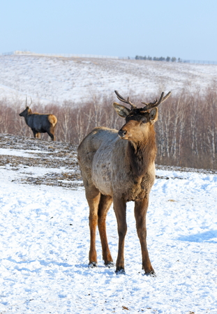 cervus: Cervus maral. An animal close up in Siberia