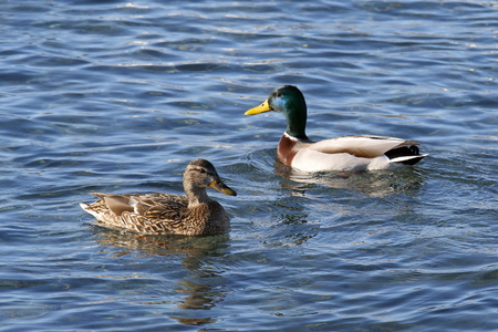 Anas platyrhynchos. Couple of ducks float in the lake