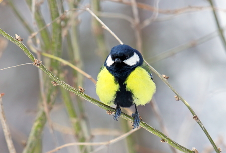 parus: Parus major. Titmouse in the early spring