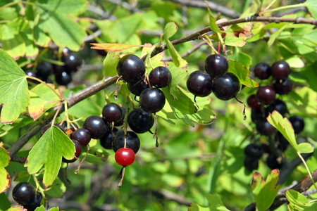 gooseberry bush: Jostaberry. Hybrid of a gooseberry and currant Stock Photo