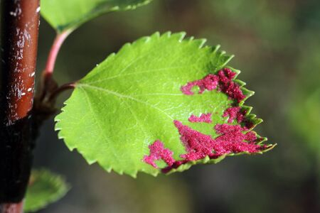 blight: Aceria rudis. Larvae of a tick on birch leaves