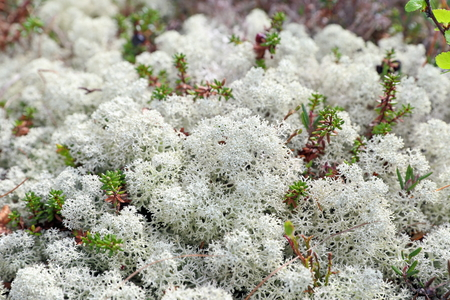 Reindeer lichen in primavera da vicino