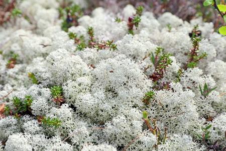 lichen: Reindeer lichen in the spring close up