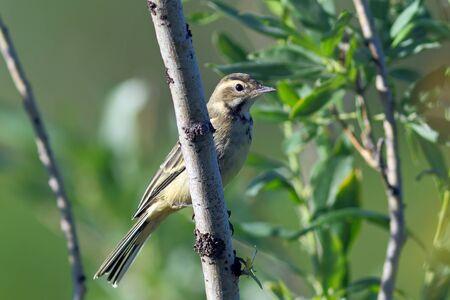 motacilla: Motacilla tschutschensis plexa. Young bird close up