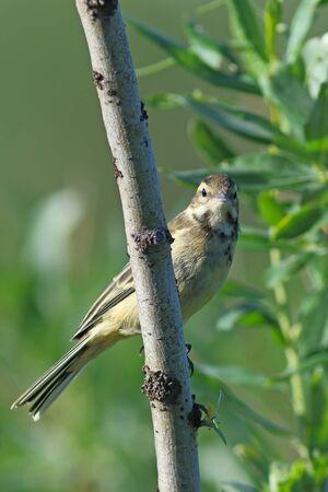 young bird: Motacilla tschutschensis plexa. Young bird close up