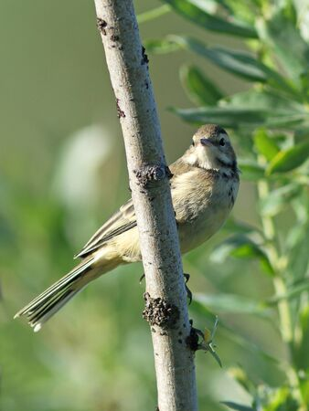 motacilla: Motacilla tschutschensis plexos. pájaro joven cerca Foto de archivo