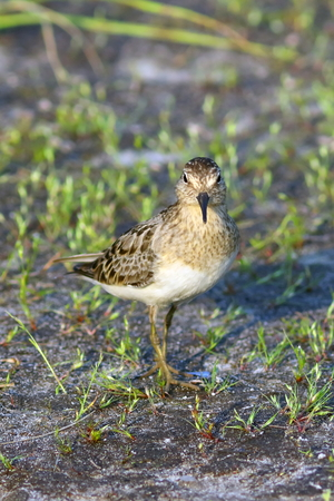 Calidris temminckii. A female of Temmincks stint in the north of Siberia