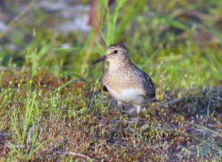 birdwatching: Calidris temminckii. A female of Temmincks stint in the north of Siberia