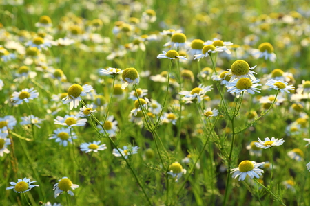 matricaria recutita: Matricaria chamomilla. A camomile in Siberia at evening lighting