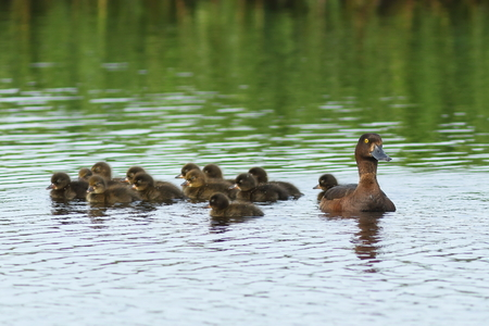gamebird: Aythya fuligula. A female with ducklings on the lake in Siberia Stock Photo