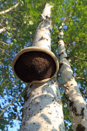 saprophyte: Tinder fungus. A mushroom on a birch trunk Stock Photo