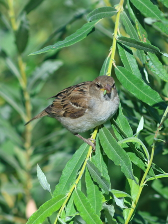 domesticus: Passer domesticus (Linnaeus, 1758). Young sparrow of c an insect in a beak Stock Photo