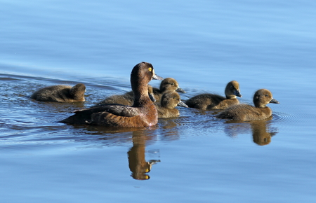 Aythya fuligula. A female with ducklings on the lake in Siberia Stock Photo