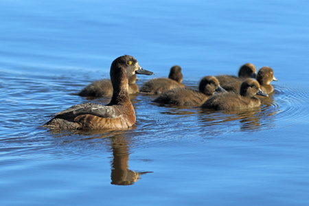 Aythya fuligula. Tufted duck with ducklings at evening light in Siberia Stock Photo