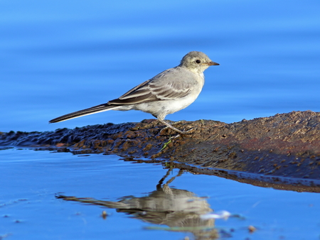 motacilla: Motacilla alba. A white wagtail on the bank of the lake at evening light