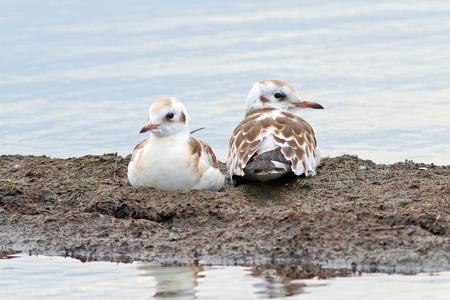 Larus ridibundus. Two young lake seagulls in Siberia