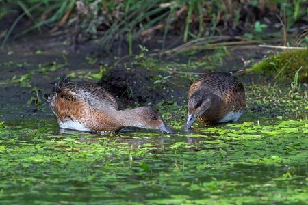 anas: Anas penelope. Two females wigeon eat seaweed