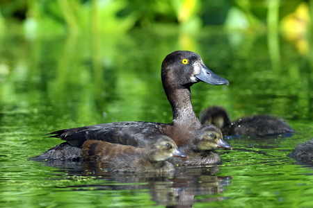Aythya fuligula. A duck with ducklings in the Western Siberia