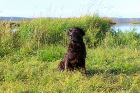 Chocolate Labrador on the shore of a lake in Siberia