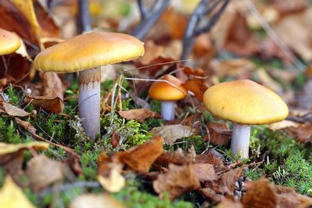 Cortinarius mucosus. Mushrooms in the fall on Yamal Stock Photo