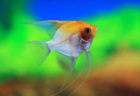 scalare: Scalars closeup in the aquarium