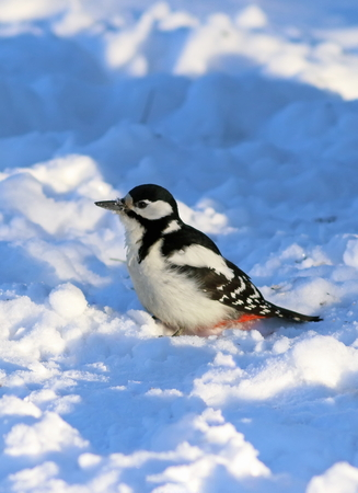 Dendrocopos major. Great spotted woodpecker in the snow in Siberia Stock Photo