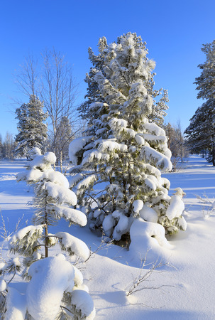 The snow-covered cedars and pine trees in the Siberian taiga Stock Photo