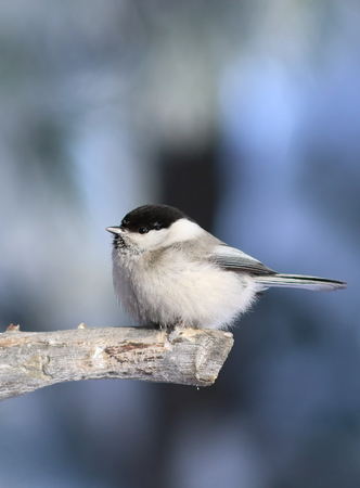 Poecile montanus. Bird closeup on a branch