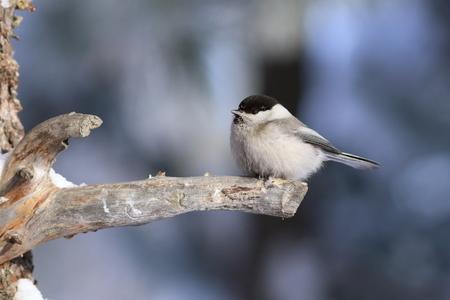 Poecile montanus. Willow Tit closeup in Siberia