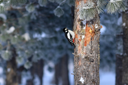 Dendrocopos major. Great spotted woodpecker on the trunk of the cedar in Siberia