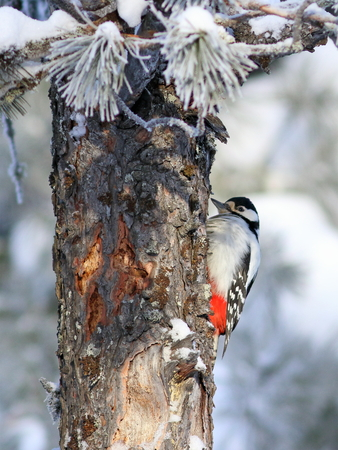 Dendrocopos major. Great spotted woodpecker on the trunk of the cedar Stock Photo