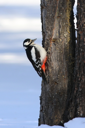Dendrocopos major. Great spotted woodpecker in the Siberian taiga