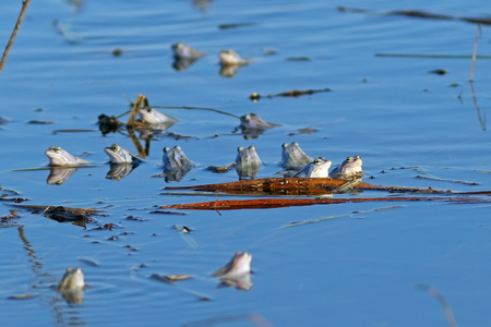 rana arvalis: Rana arvalis. The latest trend frog during the breeding season